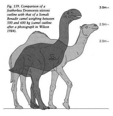 moschops911:  Dromornis and dromedary compared in Magnificent Mihirungs: the Colossal Flightless Birds of the Australian Dreamtime.