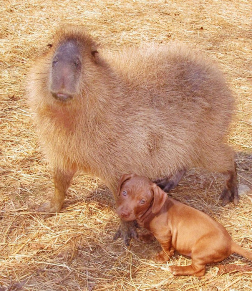 Oh god. This capybara has become the foster mom for this litter of super-cute, super-wrinkly dachshund puppies that some a-hole abandoned behind a church. The cuteness is near-unbearable.    It's real. Deal with it.