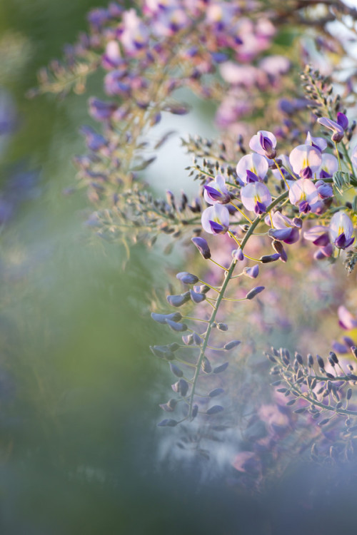 "all-things-bright-and-beyootiful:  ""Wisteria"" by Teuni Stevense"