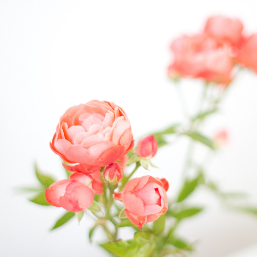 yobaretetobidete:  roses (via plainliving)