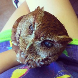 Ray the blind red phase eastern screech owl. So sweet. :)