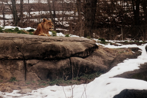 Lion | Pittsburgh Zoo Photo by: sarahbaderphotography