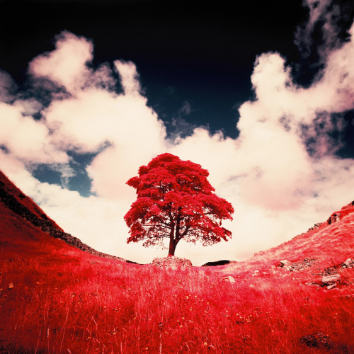 Film Photo By: Mark (Goslingstar)   Sycamore Gap, Bardon Mill, England Hasselblad 903 SWC, Kodak Aerochrome, B+W 099 Filter