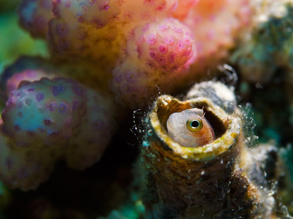 nationalgeographicdaily:  Blenny, Red SeaPhoto: Dmitry Marchenko Small blenny fish hiding in a coral hole, Red Sea, Egypt.