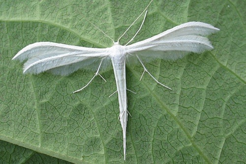 themagicfarawayttree:  White Plumed Moth, has the shape of a dragonfly and wings like feathers