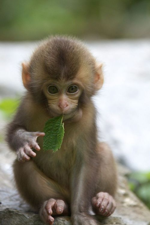 fuckyeahcuteanimalss:  (via Monkey munchies.)
