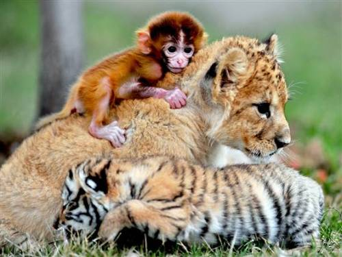 animalkingd0m:  A baby lion, tiger and monkey take a snuggle break at 'animal kindergarten' Source  Tammy! Someone started your Baby Zoo Animal Daycare!