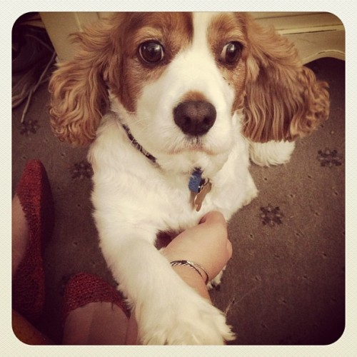 Charlie. Such a sir! #dog #puppy #attention #paw #cute #dogoftheday @dogoftheday
