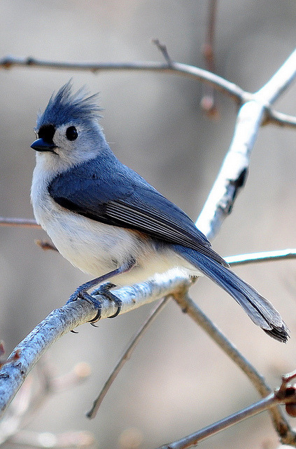 Tufted Titmouse on Flickr.