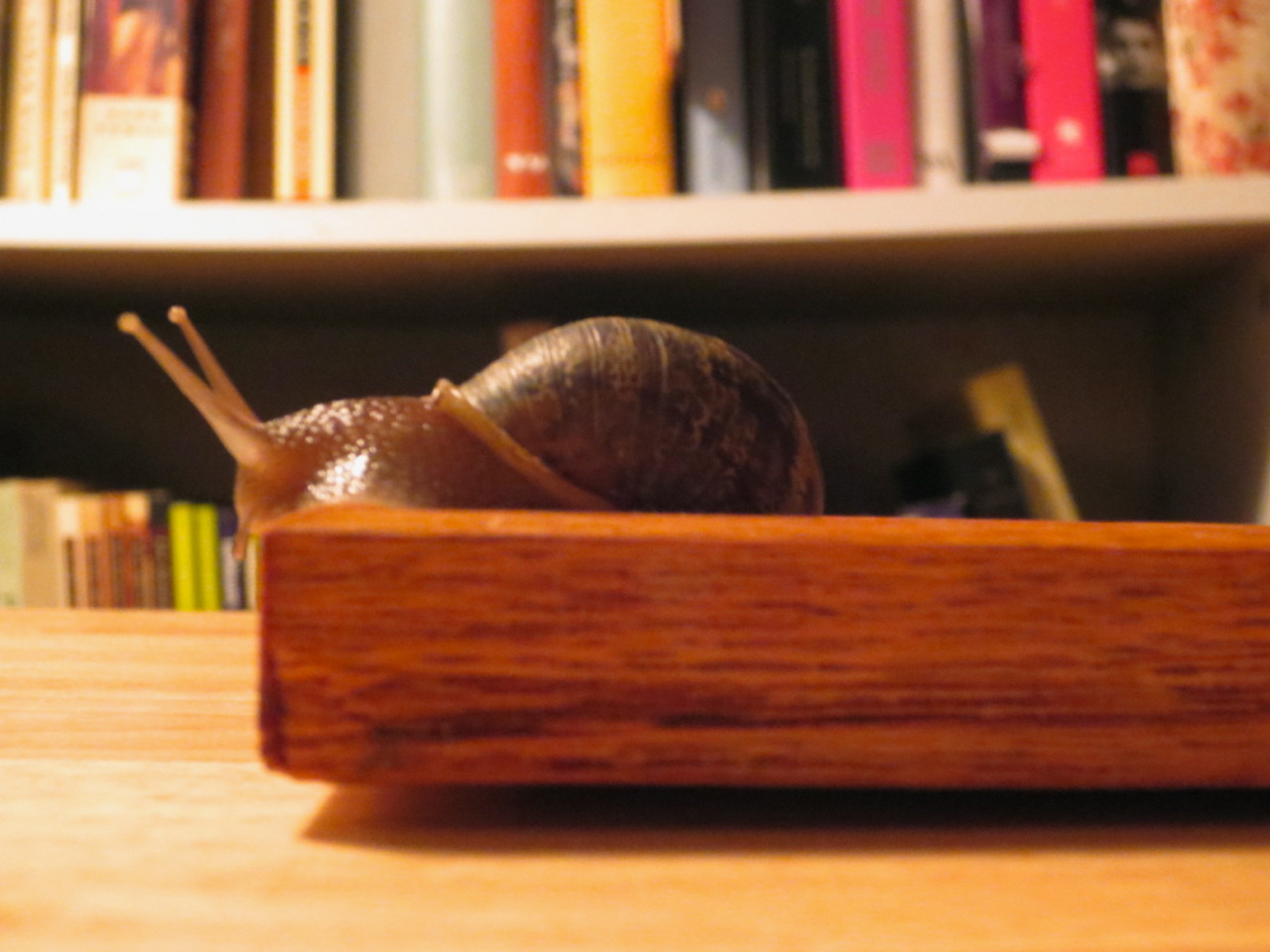 This snail snuck in on a small plant from Trader Joe's in November 2012 - it's been too cold to put him out, so he gets a couple of fresh lettuce leaves every night & is thriving.