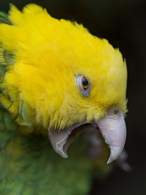 deboracpq:  Yellow-headed amazon with open beak by Tambako the Jaguar on Flickr.