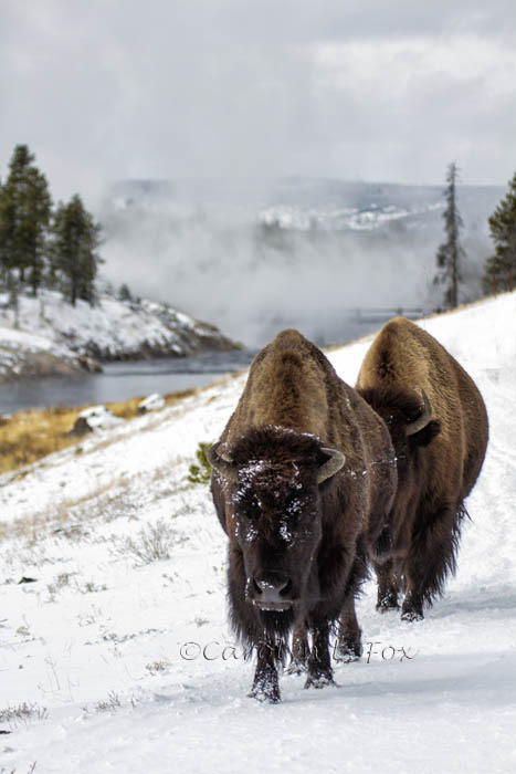 funkysafari:  Bison in the Snow, Yellowstone by Foxy Photog