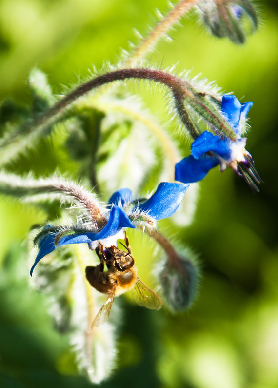 (via Nature Photography Blank Card Borage and by BobbisMixedMediaArt)