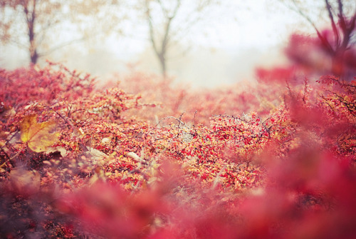 serendipity-precious:  fog in the bushes by yoostynaa on Flickr.