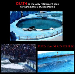 vanbean:  fightingforwhales:  Kshamenk lives in a filthy tank in Mundo Marina in Argentina. Mundo Marina says that Kshamenk was stranded and needed to be rescued, but it was revealed that he was forced stranded and taken into captivity. Kshamenk is a very good candidate for release because he was older, around 5 or 6, when he was captured and probably still retains knowledge on how to survive in the wild. He also is not bonded to his trainers and is a transient so he would easily adapt to a pod other than his own. Kshamenk lives all by himself and deserves freedom.  I signed a petition for him. This place should be ashamed. It's pathetic.