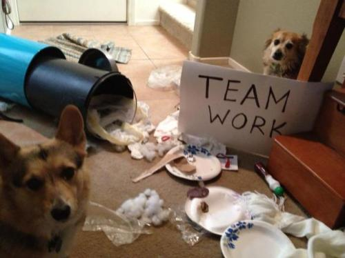 dogshaming:  TEAMWORK They tried to blame the dogs next door, but I'm highly suspicious.View Post