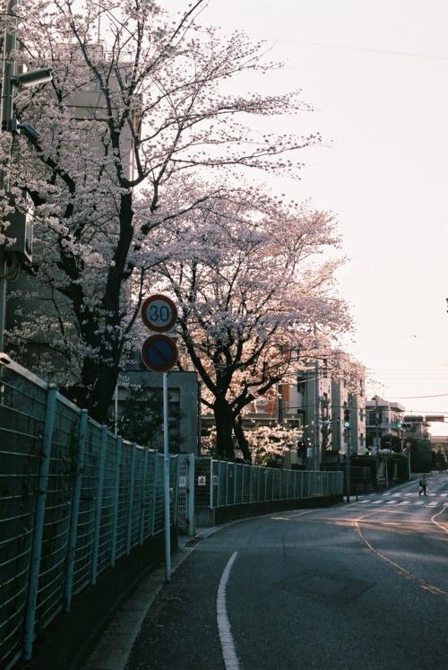 桜 35mm 35mm film 35mm photography film photography