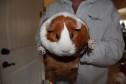 animal k guinea pig quality