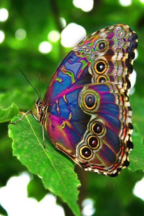 Refracting butterfly wings.