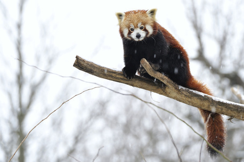 "earth-song:   ""Winter Red Panda"" by Josef Gelernter"