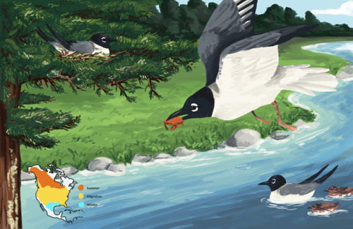 linalovesdrawing:  And more Bonaparte's gulls for my final project in Scientific Illustration. Orange is summer range, yellow is migration area, blue is winter range.