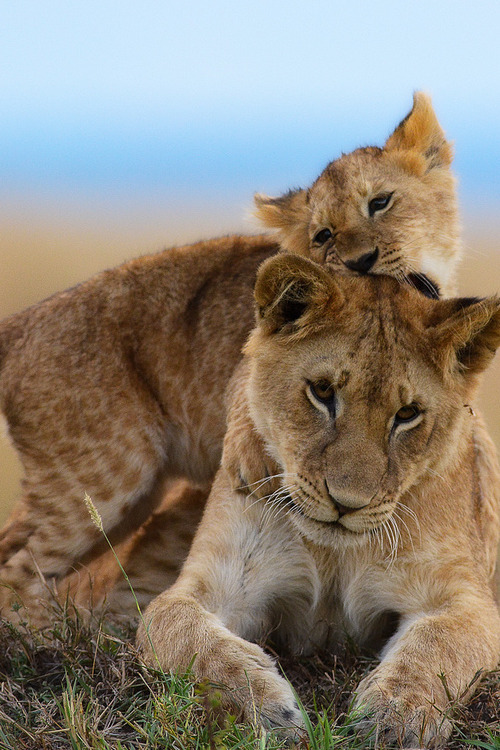 vurtual:  Playing cubs (by muddii)