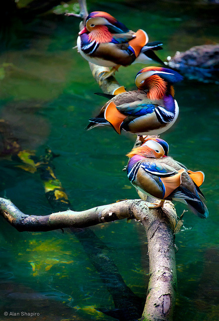 Mandarins Chillin' out poolside in the rain forest by alan shapiro photography on Flickr.