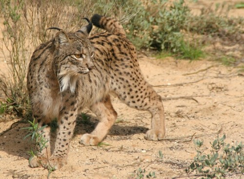 Cats on the Brink - Endangered Felids:  Iberian Lynx by Jaymi Heimbuch   The Iberian Lynx is critically endangered, and is the world's most threatened species of cat with only about 309 living in the wild as of 2013. That is actually up from the roughly 100 individuals estimated to be alive in 2005. Native to the Iberian Peninsula, the Iberian lynx is an expert rabbit hunter — unfortunately it has specialized on only rabbits and the loss of prey due to disease outbreaks as well as habitat has all but wiped it out. Though it is now illegal to hunt them and their habitat is protected, the lynx still falls victim to cars along roads, feral dogs and poaching by humans. (read more: TreeHugger)                        (photo: Programa de Conservación Ex-situ del Lince Ibérico)