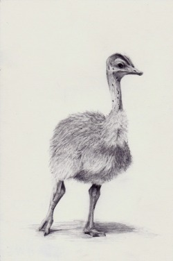 christophercurryartwork:  Baby ostrich drawing, a gift to Bethan Turner.