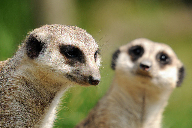 suricata suricatta on Flickr.meerkats