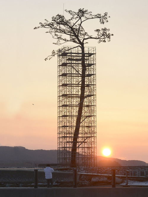 miracle pine - single tree that survived 2011 tsunami turned into monument