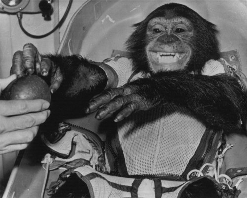 congressarchives:  On January 31, 1961, Ham the space chimpanzee made history after blasting off hundreds of miles into low Earth orbit inside a Mercury capsule. Before NASA could send humans into space, they used animals as test subjects to determine whether or not a human could perform tasks or even survive miles above the Earth's surface. This photo, submitted by NASA to the Senate Committee on Space and Astronautics, captured the image of Ham stretching for an apple after landing safely aboard the capsule. More than just a passive rider, Ham readily performed a series of learned tasks on his journey proving that humans would have at least a limited functionary capability in space. One apple seems a pittance for Ham's great contribution to the Mercury project and human space flight. Nevertheless, he seemed glad to have it! Photograph of Ham reaching for an apple, SEN 89A-F1, 1/31/1961, Records of the U.S. Senate (ARC 7038095)