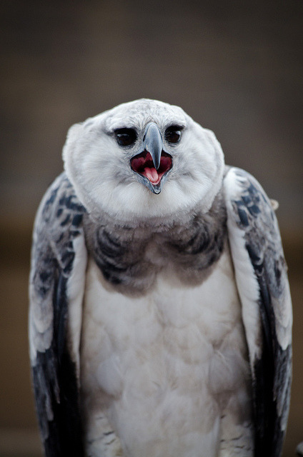 theanimaleffect:  Harpy Eagle by fightthegdfight on Flickr.