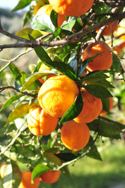 Orange tree in Dorne  Image by tango-