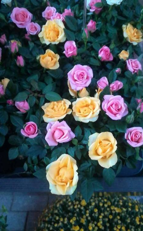 Flowers Roses Florist Pink Yellow