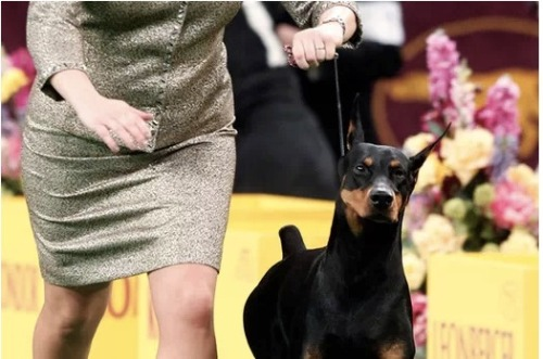 Day 1 of the 137th Westminster Dog Show is in the book! Click the pic to see which breeds took home the top spot in their respective categories, and then watch out for Day 2 later tonight!