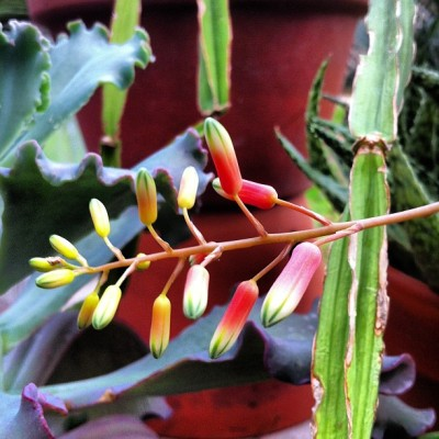 Aloe blossoms about to open