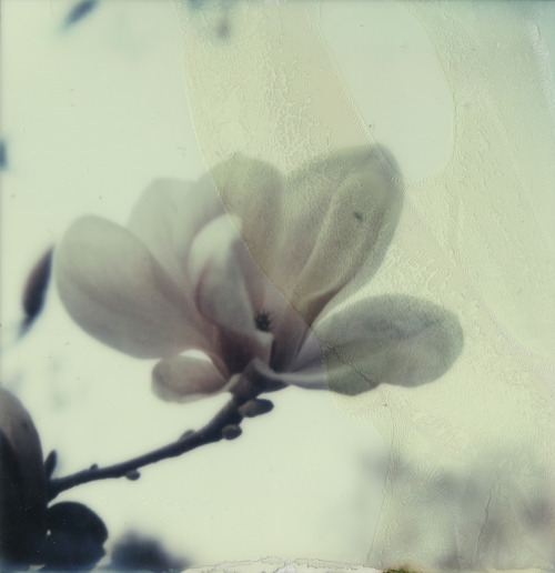 polaroidsandthoughts:  melancholic magnolia Camera: Polaroid Sx-70, Film: Impossible Project PX680 Color Protection