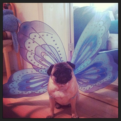 bobdoom:  …into a beautiful puggerfly.