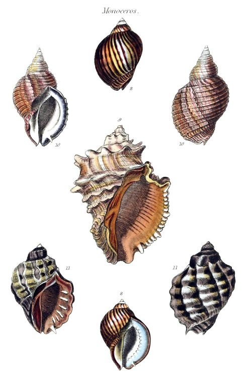 Unicorn snails (2)  From The conchological illustrations, by George Brettingham Sowerby, London, 1832.  (Source: archive.org)
