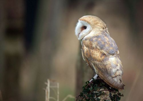 animals-animals-animals:  Barn Owl (by Jamie-MacArthur)