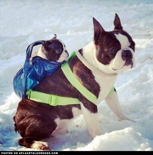 aplacetolovedogs:  Just two adorable Boston Terriers in the snow. Well one really, the little one is conveniently being carried by the big one For more cute dogs and puppies   OMGAH