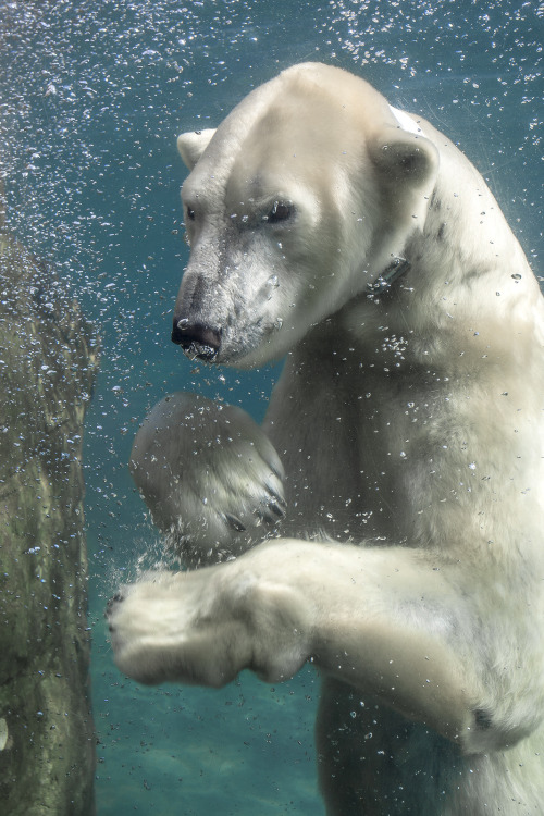 polar bear | Tumblr