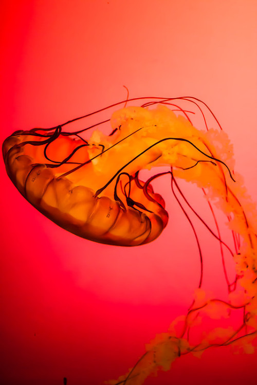 oculi-ds:  Northeast Pacific Sea Nettle by Ty Helton