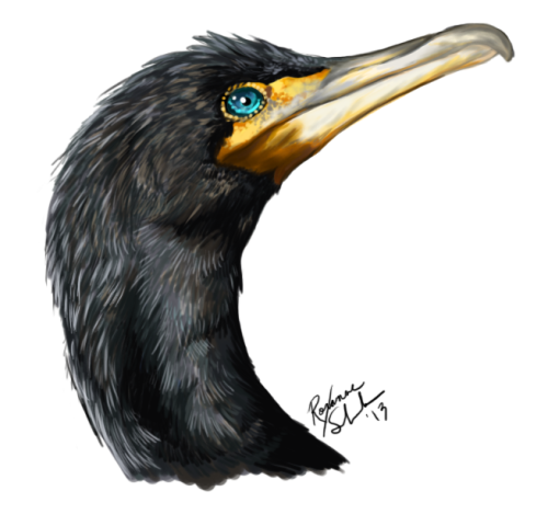 Doodled a floaty cormorant head today! Double-crested Cormorant (Phalacrocorax auritus)