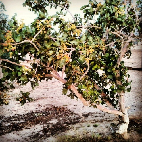One of our #pistachio #trees loaded with #nuts #nature #farm #orchard #growing #summer #instafood #picoftheday (at Zzyzx Oasis)