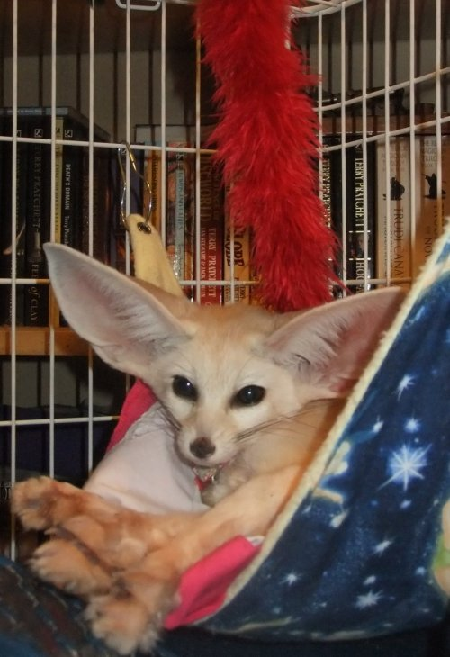 fuckyeahfennecs:  Fennec fox in a hammock by ~Corsacfoxes
