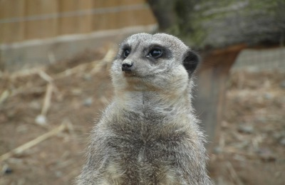 Meerkat. Photo by Louise Warr.