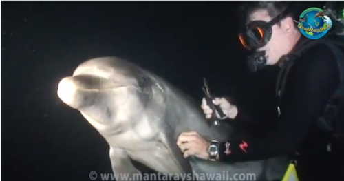 Video: Struggling Dolphin Seeks Help From Divers Watch as these divers have an unexpected experience with a struggling dolphin. In a recent night swim off the coast of Hawaii, a dolphin tangled in fishing wire from mouth to fin swam up to the drivers seemingly looking for help.