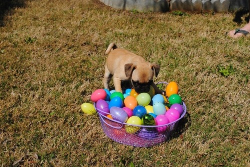 Puglet is still playing with all her Easter eggs! (submitted by Lolababy!)